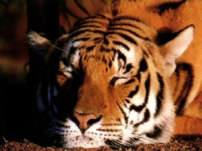 wallpapers-animales-tigres